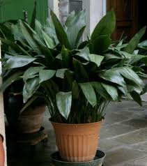 Cast Iron Plant (Aspidistra)