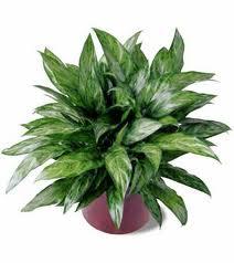 Chinese Evergreen (Aglaoname)