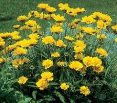 Coreopsis / Daisy